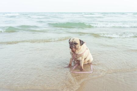 Portrait of cute pug dog take a rest on the beach in vacation time. Enjoy summer concept