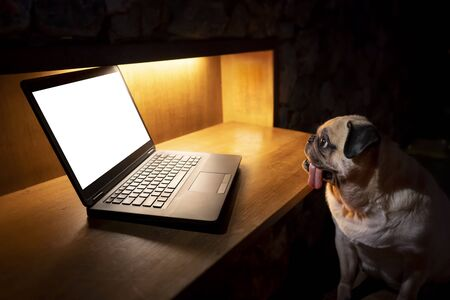 Cute pug dog sitting on chair at home and looking at blank or empty monitor at laptop. Working at night not to sleep concept. Copy space for label text or advertisement Reklamní fotografie