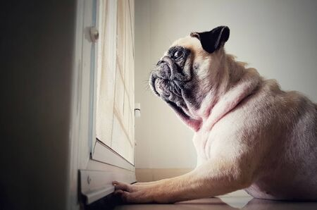 A cute pug dog puppy is sit and waiting owner bring to play outside at the door. Reklamní fotografie
