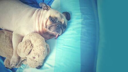 Cute old pug dog sleep rest in the bed and hug dolls. Feels Alone and Missing owner.