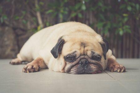 Funny Sleepy Pug Dog with gum in the eye sleep rest on floor Stock fotó