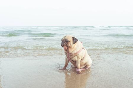Portrait of cute pug dog take a rest on the beach in vacation time. Enjoy summer concept.