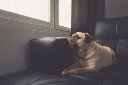 Close-up face of cute pug puppy dog on sofa looking out a window alone like forsake waiting owner Stock fotó