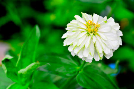 Zinnia flower Stock Photo