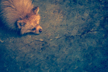 Wet and soak laying down brown pomeranian dog with the bored mood on the dirty cement floor. Vintage style Standard-Bild