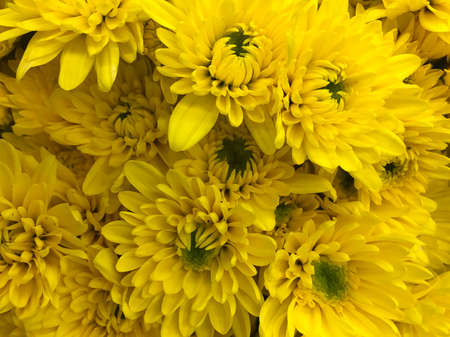 Beautiful yellow Chrysanthemum flower in close up and top view sell in the flower zone in supermarket store