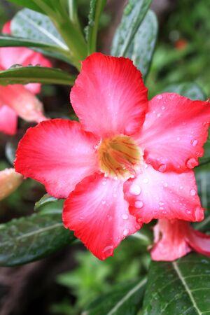rose of the desert: Desert Rose fiore Archivio Fotografico