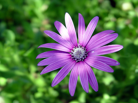 Violet flower over green background