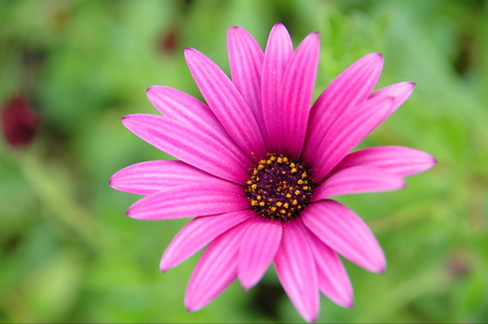 One pink flower on green background