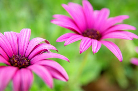 Two pink flowers on green background