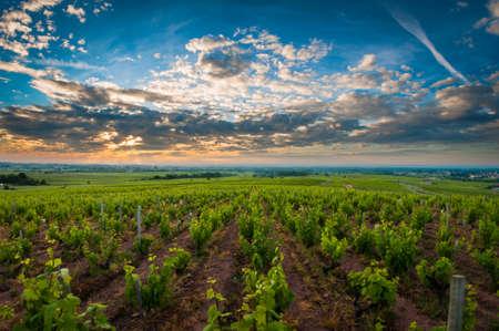 rhone: Sunrise over vineyards