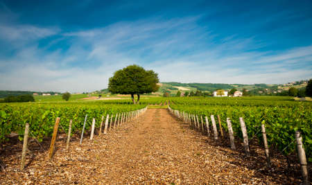Vineyards of Frontenas  Beaujolais