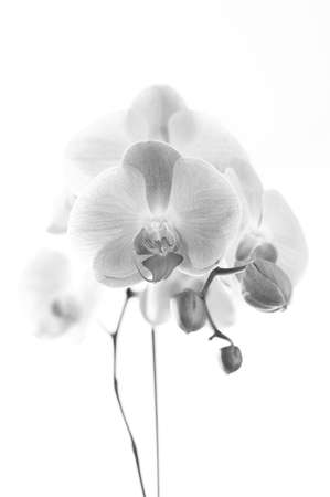 Orchid with white background