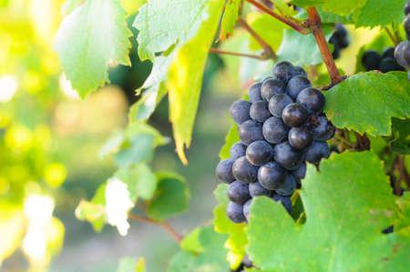 赤ワイン用ブドウ 写真素材