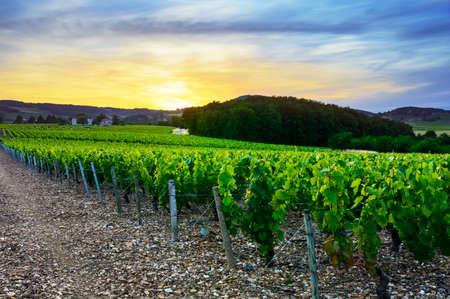 vineyard at sunset: Sunset over vineyards of Beaujolais, Rhone, France