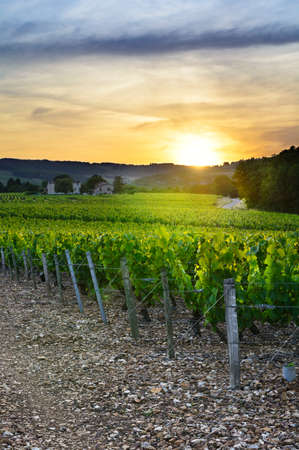harvest field: Sunset over vineyards of Beaujolais, Rhone, France