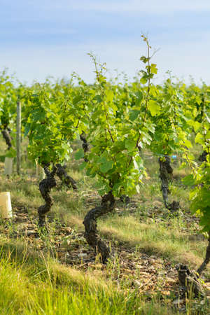 fermenting: Into a field of vineyards Stock Photo