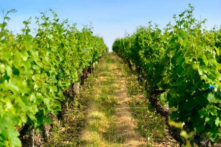 viñedo: En un campo de viñedos Foto de archivo