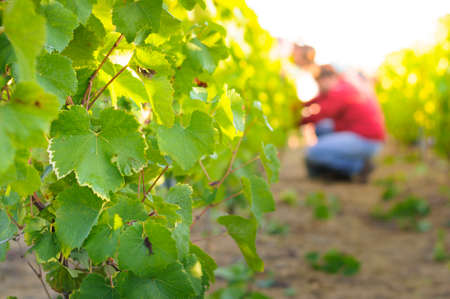 grape harvest: Vineyards and sunny day, France