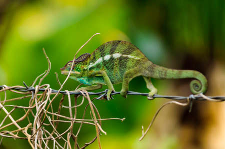 reptilian: The Asleep or chameleon, Ile de La Reunion