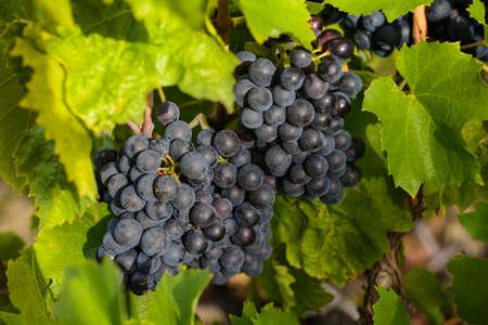 フランスのボジョレー土地で収穫前に、のブドウ畑でブドウ