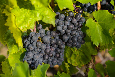 uvas: Uvas en vi�edo antes de la cosecha en tierras de Beaujolais en Francia