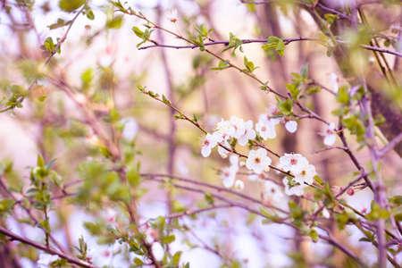 white blossom: Spring flowers with white blossom