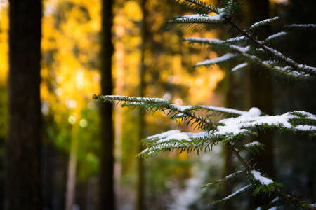pine branch: Pine branch with snow