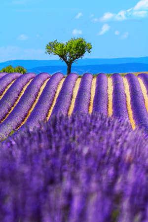 lavender coloured: Landscape and lavender field, France