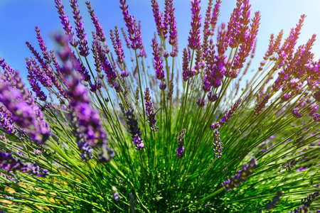 perfumed: Close to the lavender plant Stock Photo