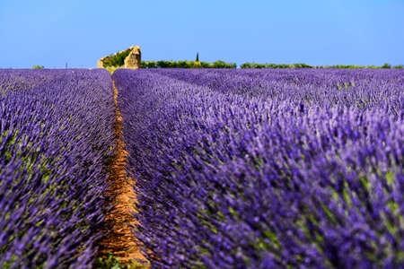 lavender coloured: Old hut in lavender fields