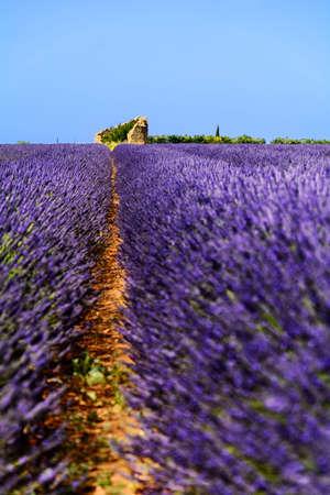 mauve: Old hut in lavender fields