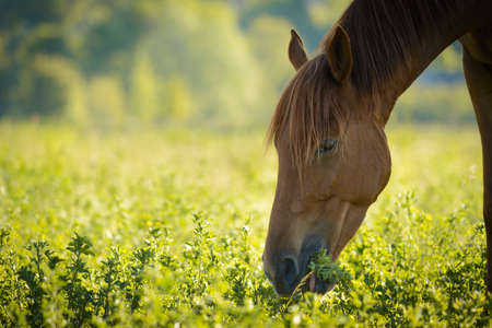 brown horse: Brown horse in meadow Stock Photo