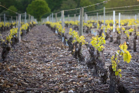 crus: Young vineyards of Beaujolais, Burgundy, France