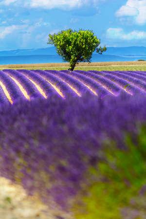 perfumed: Landscape and lavender field, France