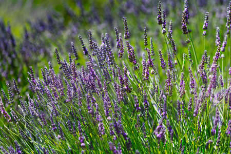 Lavender flowers during a sunny day