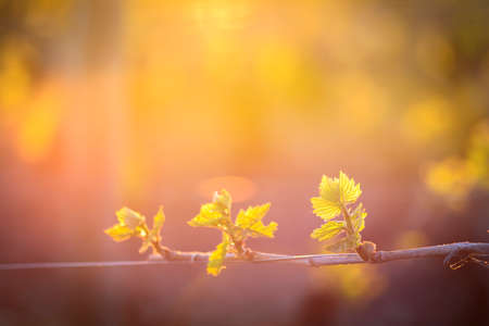 morning blue hour: Young branch with sunlights in vineyards Stock Photo