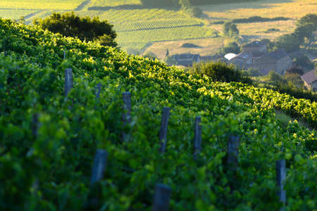 crus: Morning lights and colors over vineyards of Beaujolais, France Stock Photo
