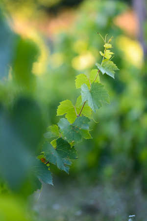 crus: Leaves of young vines in with morning lights, Beaujolais Stock Photo