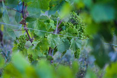 crus: Young grape of vine, Beaujolais
