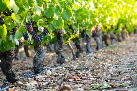 ボジョレーのブドウ園にブドウのブドウ