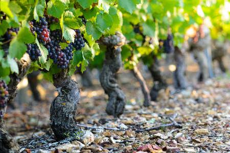 crus: Grape of vine into vineyards of Beaujolais