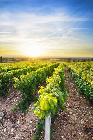 Sun is rising over vineyards of Beaujolais