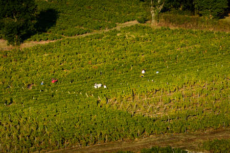 crus: Workers in vineyards of Beaujolais during harvest, France Stock Photo