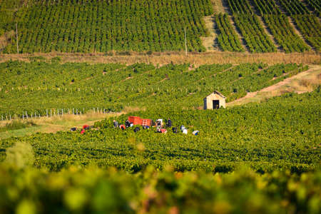 crus: Workers in vineyards of Beaujolais during harvest and close to a typical hut, France