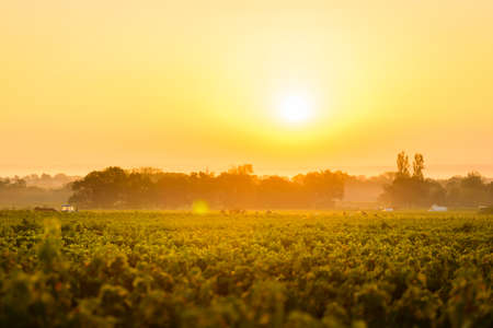 crus: Workers in vineyards of Beaujolais during the golden hour, France