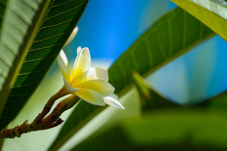 Close up of Plumeria or franginani flowers in nature Banque d'images