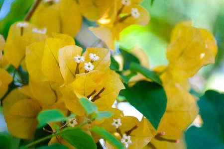 Close up of orange bougainvillea flowers in garden