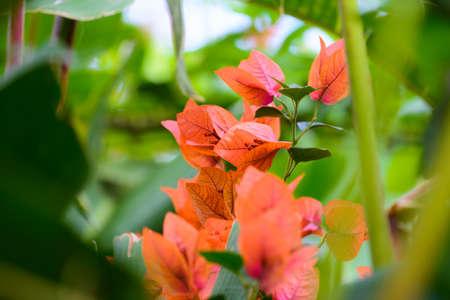 Gros plan de fleurs de Bougainvillea sur le jardin Banque d'images - 86199939