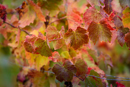 Red and yellow leaves of vine during fall season